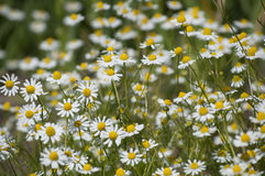 Field of medicinal plants Royalty Free Stock Photo