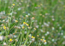 Field of mexican daisy in the garden Stock Photos