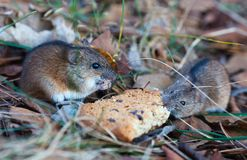Field mice and cookies in the autumn forest royalty free stock photos