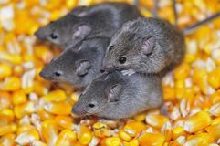 Field mice. royalty free stock image