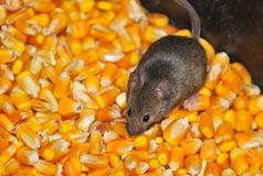 Field mice. Four field mice eating corn grain on the farm Stock Image