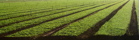 Field of micro-greens in the agricultural belt of central Califo Royalty Free Stock Images