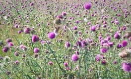 Field Milk Thistle (SILYBUM MARIANUM) Royalty Free Stock Image