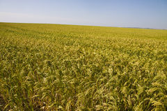 Field with millet crop Royalty Free Stock Photo