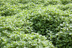 Field of Mint Leaves Stock Photos
