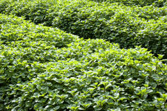 Field of Mint Leaves Royalty Free Stock Images