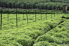 Field of Mint Leaves Stock Photo
