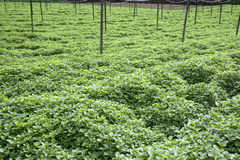 Field of Mint Leaves Stock Image