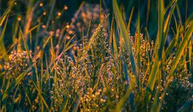 Field in morning dew Royalty Free Stock Images