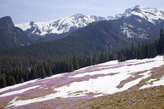 Field of mountain crocuses Royalty Free Stock Photos