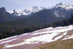 Field of mountain crocuses Royalty Free Stock Photos