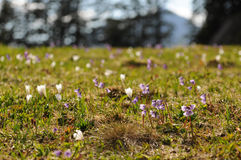 Field of mountain flowers in the Austrian Alps Stock Photo