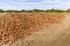 A field with a mountain or pile of harvested carrots, in the background wooded landscape royalty free stock photography