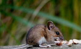 Field mouse Royalty Free Stock Photos