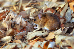 Field mouse Stock Photos