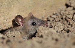 Field mouse. View of a mouse emerging from a hole beneath a fence