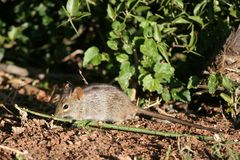 Field mouse. Looking at a leaf on the ground royalty free stock images