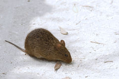 Field mouse. Looking for food Stock Photos