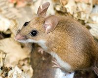 Field Mouse. A close up of a field mouse stock photo