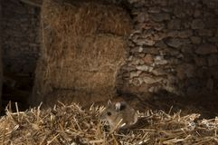 Field mouse haystack, Apodemus sylvaticus stock photography