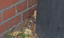Field mouse behind a bin while waiting for a bus, photo taken in the UK. Field mouse spotted behind a bin while waiting for a bus, photo taken in the UK royalty free stock photo