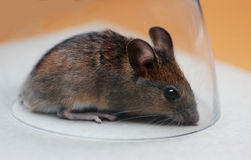 Field mouse, catched in a glass Stock Photo