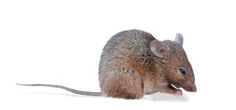 Field Mouse (clipping path). Macro of a small field mouse.  Clipping path excludes shadow Stock Photos
