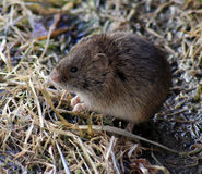 The field mouse Stock Images