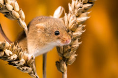 Field Mouse royalty free stock images