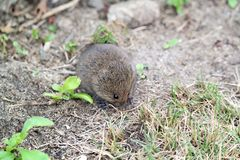 Field Mouse Royalty Free Stock Photo