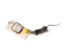 Field mouse and mousetrap Stock Image