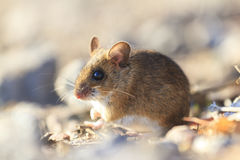 Field mouse sitting among the rocks Royalty Free Stock Photo