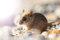 Field mouse sitting among the rocks with sunny hotspot Royalty Free Stock Images