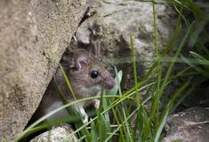 Field mouse. Small field mouse looking out from hiding Royalty Free Stock Photography