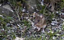 Field mouse among sunflower seeds Royalty Free Stock Photo