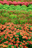 Field of multi-colored Mums Stock Image