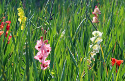 Field with multi colored gladioli, back lit Royalty Free Stock Photos