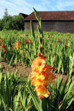 Field with multi colored gladioli, barn in background Stock Image