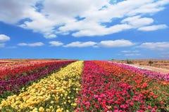 Field of multi-colored  Ranunculus Bloomingdale Stock Photo