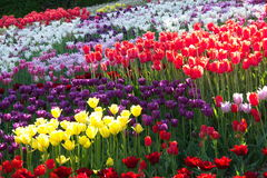 Field of multi-colored tulips. Spring flowering of tulips, hundreds of bright colors on flowers in the park. Kiev, Ukraine Royalty Free Stock Photos