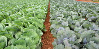 Field of multicolored collard. Field of fresh and ripe multicolored collard Stock Images