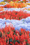 Field of multicolored flowers Royalty Free Stock Image