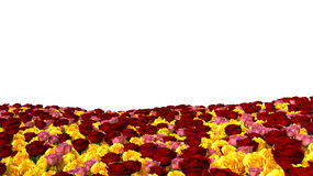 Field of multicolored roses on isolated on white background.  Royalty Free Stock Image