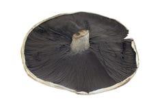 Field Mushroom Royalty Free Stock Photos