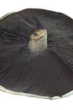 Field Mushroom Stock Image
