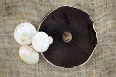 Field Mushroom Stock Photo