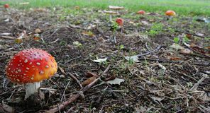 Field of mushrooms. Fly agaric mushroom, in a patch of them under some trees. (Amanita muscaria Royalty Free Stock Photos