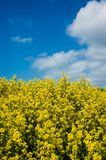 Field of Mustard Royalty Free Stock Images