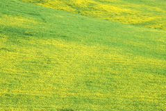 Field of Mustard in Bloom, Lake Casitas, Ojai, CA Stock Photo