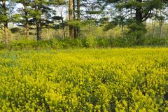Field of mustard blooms in early spring. Royalty Free Stock Image